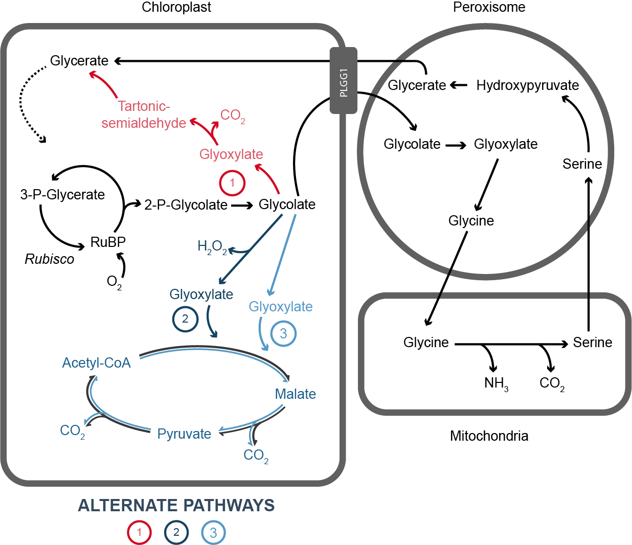Figure that illustrates modified and native pathways for photorespiration.