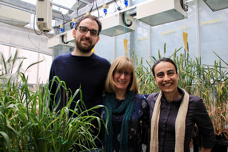 Three researchers pose next to wheat growing in a glasshouse.