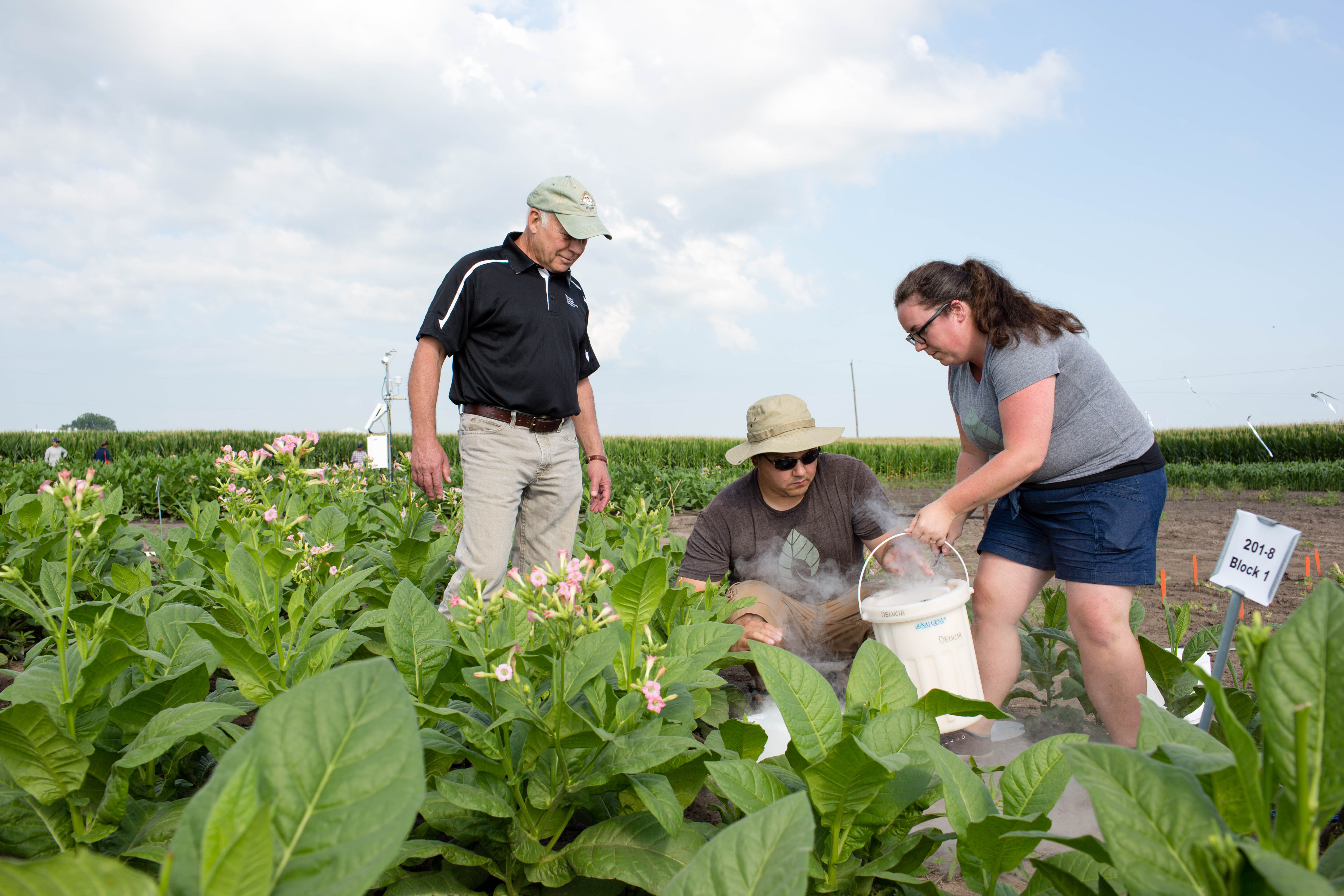Researchers collect plant samples in a field trial.