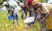 "A project begun nearly 15 years ago is finally coming to fruition, as Nigeria is poised to become the first country to release a genetically modified variety of insect-resistant cowpeas to farmers.  ""The cowpea growers have been very supportive. They like the GM crop. They have seen it perform and they are ready to grow it,"" Issoufou Kollo Abdourhamane, the project's manager at the African Agricultural Technology Foundation (AATF), told me.  Cowpeas, known as black-eyed peas in the United States, are a key"