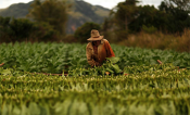 A farmer harvests tobacco leaves at a plantation in the valley of Vinales, in the western Cuban province of Pinar del Rio, January 27, 2015. Picture taken January 27, 2015. REUTERS/Pilar Olivares