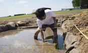 A researcher works in the rice paddy.