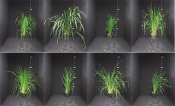 Image shows phenotypic differences in 8 rice varieties.