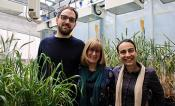 Three researchers pose next to wheat in a glasshouse.